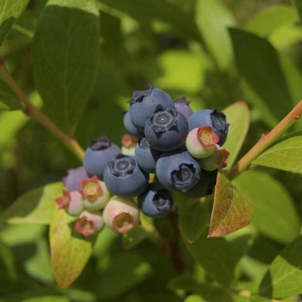 bleuethillfarmblueberries